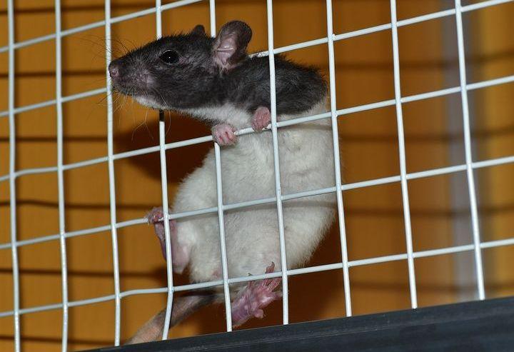 Le rat essaie de sortir de la cage
