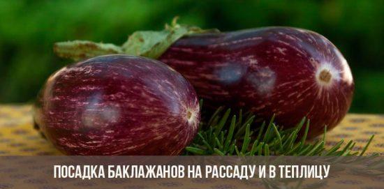 Plantation d'aubergine