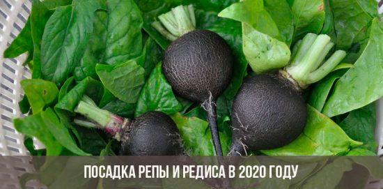 Planter des navets et des radis en 2020