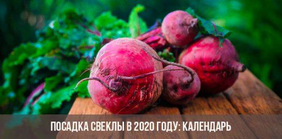 Planter des betteraves en 2020: vidéo