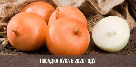 Plantation d'oignons en 2020